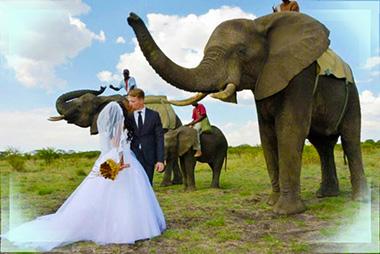 Молодожены и африканские слоны