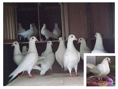 Специализированные голуби для свадьбы
